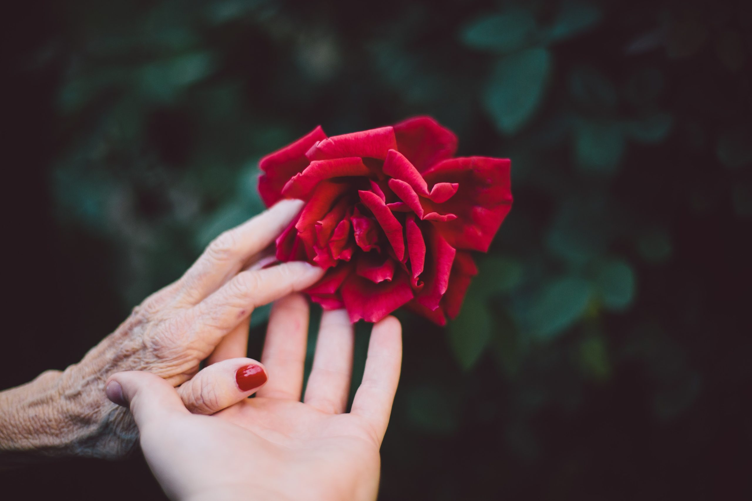 an elderly hand and a young hand with a rose